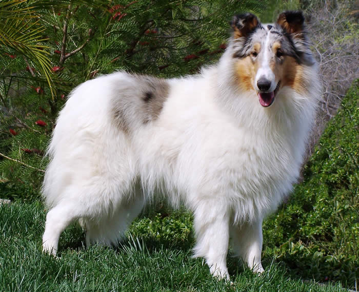Collie Dog Pet